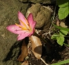 0614_8zephyranthes