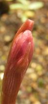 0625_24zephyranthes