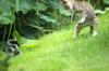 Catsnake