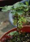 0421gooseberry1
