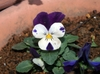0106pansy1