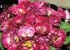 0225primulapolyantha1