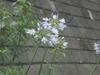 0701_1agapanthus