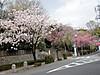 0406_k1yaezakura