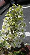 0526_1kasiwabaajisai2