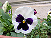 1105_19pansy