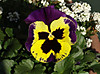 1231_13pansy