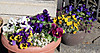 0129_6pansy
