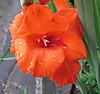 0621wa_gladiolus