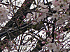 0321m_10sakurazaka4