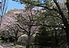 0409m_6sakura1