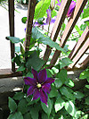 0430_11clematis3rd