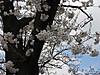 0324_12sakura2
