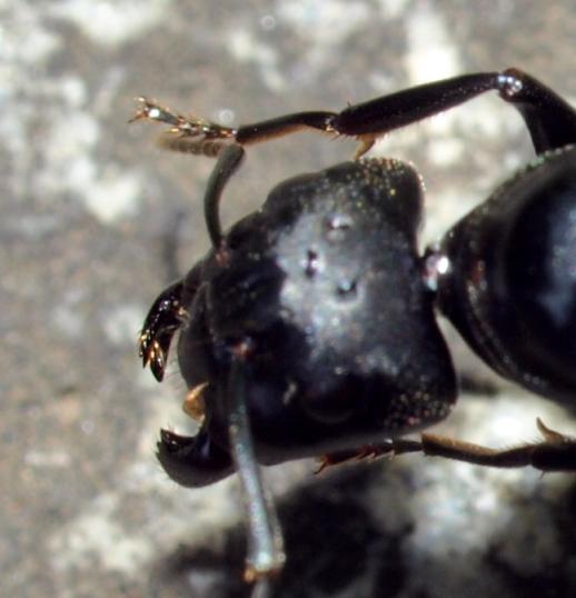 クロオオアリの画像 p1_31