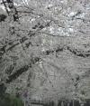 0328_20sakurazaka2
