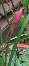 0905_8zephyranthes