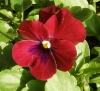 1213_4pansy2