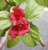 1213_hibiscus